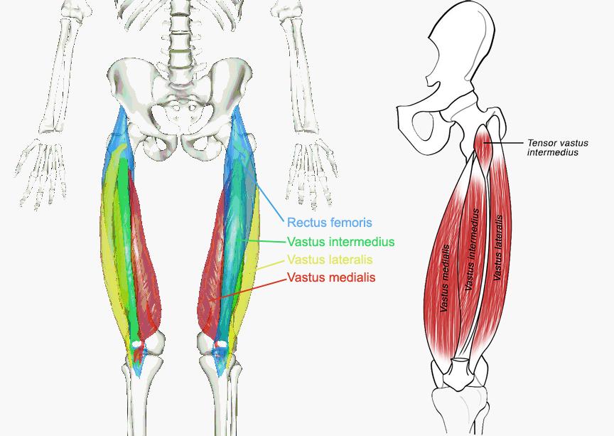 Quadriceps-